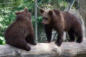 Björnar som slogs